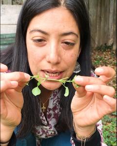 Paloma Chickweed